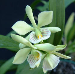 Encyclia radiata