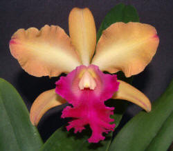 Blc. Hawaiian Rusty