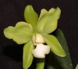 Epc. Beckenbach 'Lime Royal' AM/AOS
