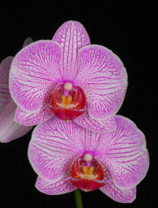 Pink Candy Stripe Phal