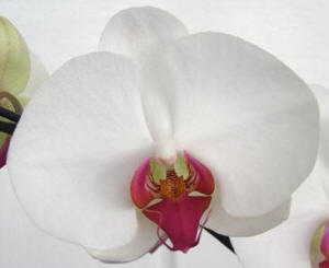 White Phal with Red Lip