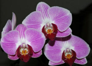 Pink Blush Phal with Dark Red Lips