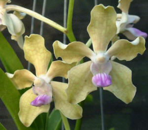 Vanda tessellata (Black x yellow)