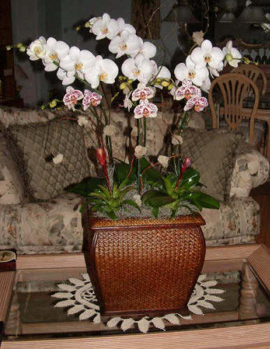 Phalaenopsis Arrangement